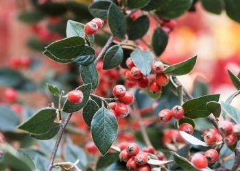 Cotoneaster franchetii. Photo credit: Royal Horticultural Society
