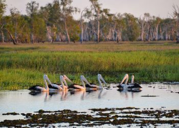 Pelican wetlands in Kakadu National Park. Image by pen_ash from Pixabay