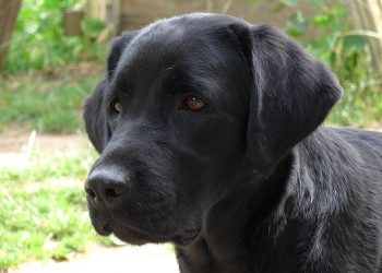 Generic photo of a two-year-old Black Labrador. Photo credit: Kreuzschnabel via Wikimedia Commons
