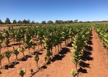 One of the illicit crops in NSW. Photo credit: Australian Taxation Office