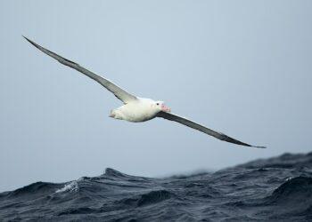 A Gibson's albatross (Diomedea antipodensis gibsoni) photographed East of the Tasman Peninsula. Photo credit: JJ Harrison via Wikimedia Commons