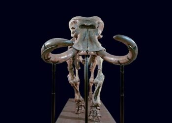 Remains of the dwarf elephant uncovered in Sicily. Credit: Gemmellaro Geological Museum