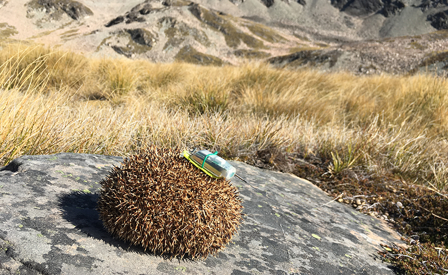 An alpine hedgehog fitted with a 'backpack' and GPS. Photo credit: University of Otago