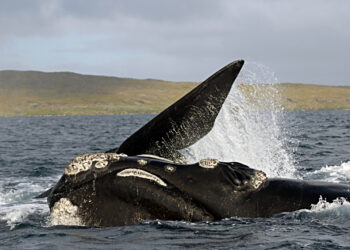 A migrating southern right whale off the coast of New Zealand. Photo credit: Oregon State University via Wikipedia