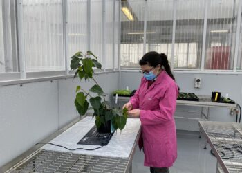 The sacred plant being checked while in quarantine in Melbourne. Photo credit: Department of Agriculture, Water and the Environment