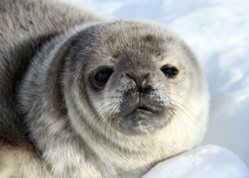A young Weddell seal, photographed in Antarctica by the principal investigator of the study on Antarctic seals, Dr Michelle LaRue. Photo credit: Dr Michelle LaRue/UC