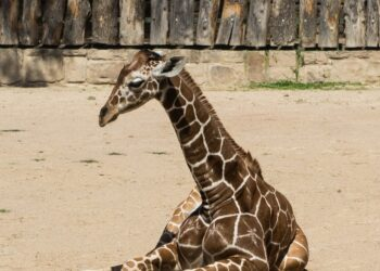 Generic photo of a giraffe calf. Image by raving666 from Pixabay
