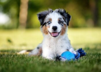 Things that you must know when you have an Australian Shepherd